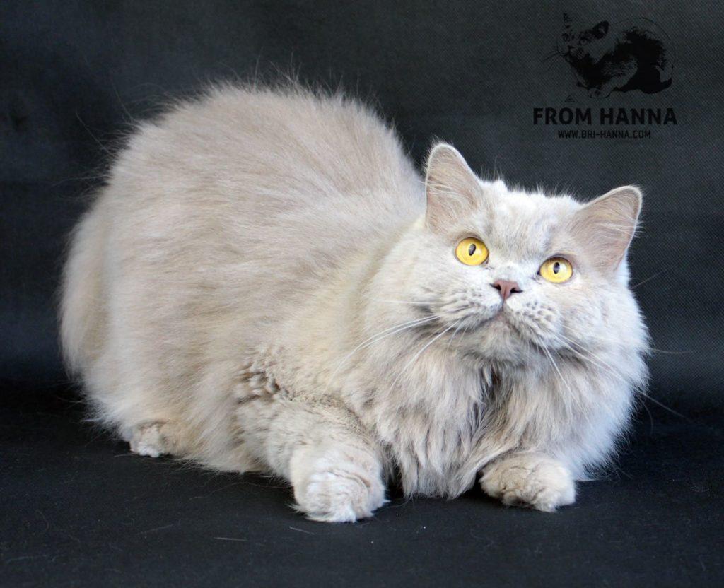 british-longhair-cat-inbreeding