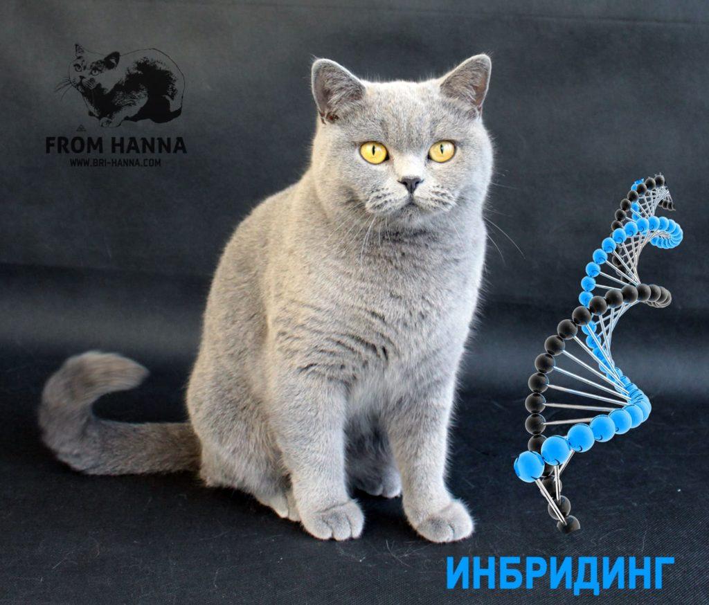 british-shorthair-cat-inbreeding