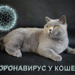 Кошачий коронавирус, что за болезнь и опасна ли для людей?