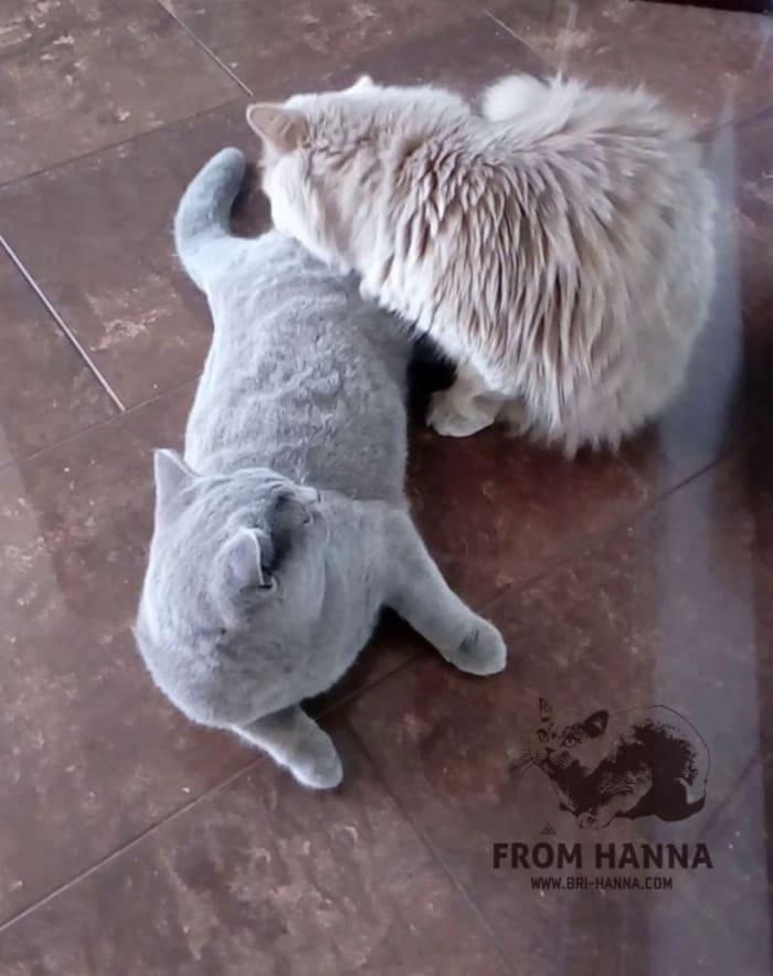 sparivanie-kotov