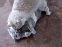 Что такое течка и как происходит вязка кошек