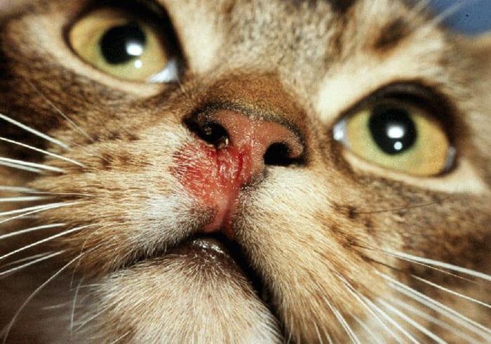 feline-kalisivirosis-drugs-used-for-treatment-kalsivirus-infection-in-cats