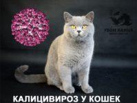 Кошачий калицивироз — чем опасен, как передается, схема лечения