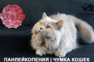 Кошачья панлейкопения (парвовирус, чумка): симптомы, схема лечения, прививка