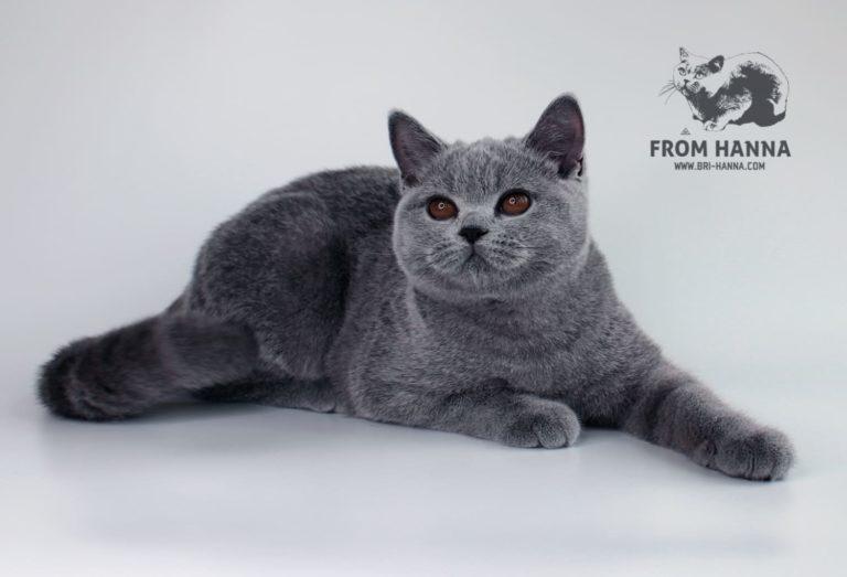 shorthair-british-cat-golda