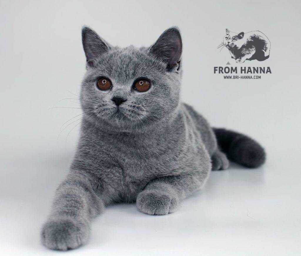 shorthair-cat-golda
