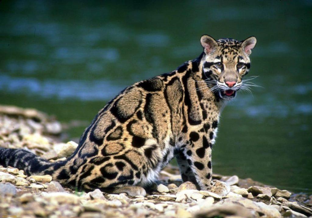 borneiskii-dymchatyi-leopard