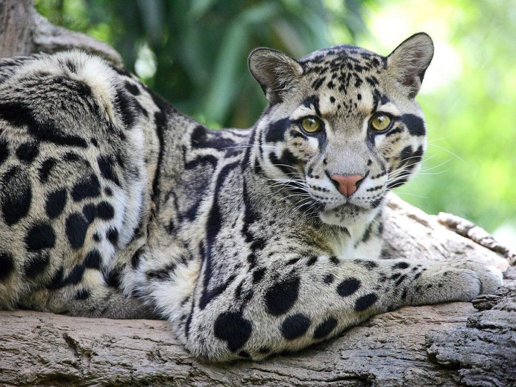dymchatyi-leopard
