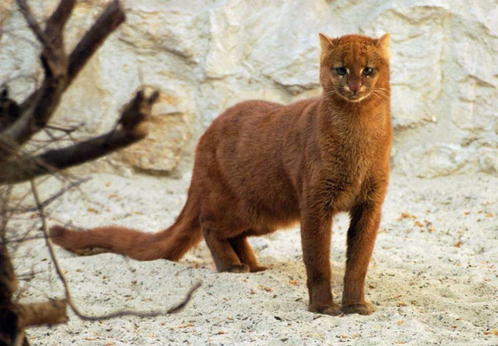 jaguarundi-antikoshka