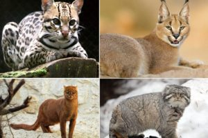 Все виды семейства диких кошачьих, классификация хищных кошек