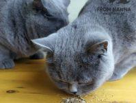 Мята кошачья, котовник, что за растение и как действует на кошек