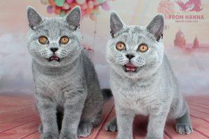 Почему кошка дышит открытым ртом, как собака, с высунутым языком