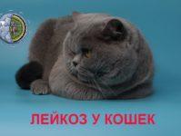 Симптомы, признаки, лечение вирусного лейкоза у кошек