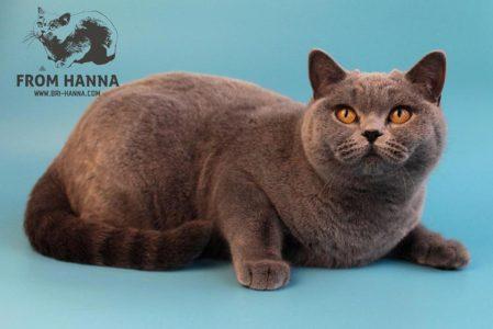 британская-кошка-Daphne-from-Hanna