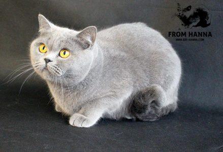 кошка Opal-Beauty-of-Luxury