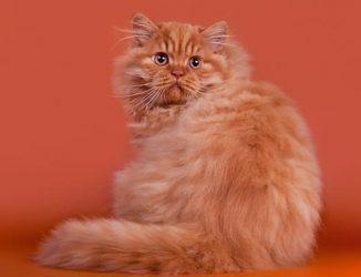 british-longhair-red-cat