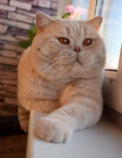 british-cat-cream
