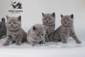 british-kittens-1,5-m
