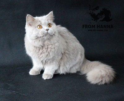 british-longhair-lilac-cat-BRI-c