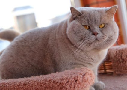 british-shorthair-BRI-p