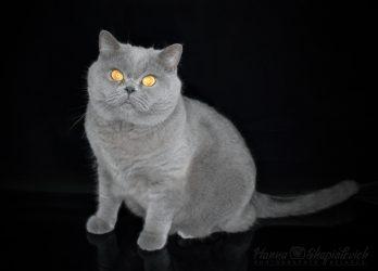 british-shorthair-from-hanna-cat