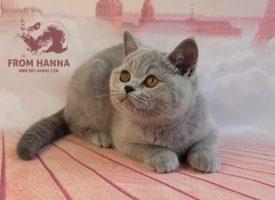 frodo3.5m_bri-hanna_british_kitten