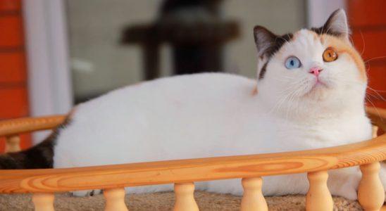 hocolate-tortie-white-van-oddeyed-eyes-bri-h-01-63