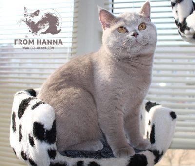 lilac-british-cat-photo-BRI-c
