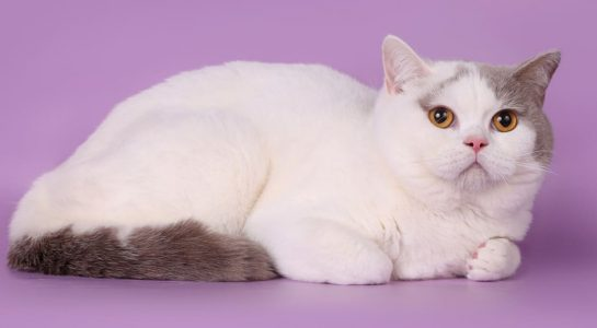 lilac-wan-with-golden-eyes-bsh-c-01-62