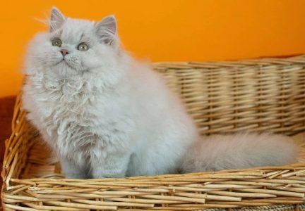 Длинношерстная кошка фавн