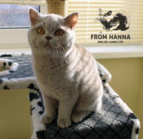 luxury_agenor_of_hanna_cat
