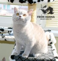 luxury_agenor_of_hanna_kitten