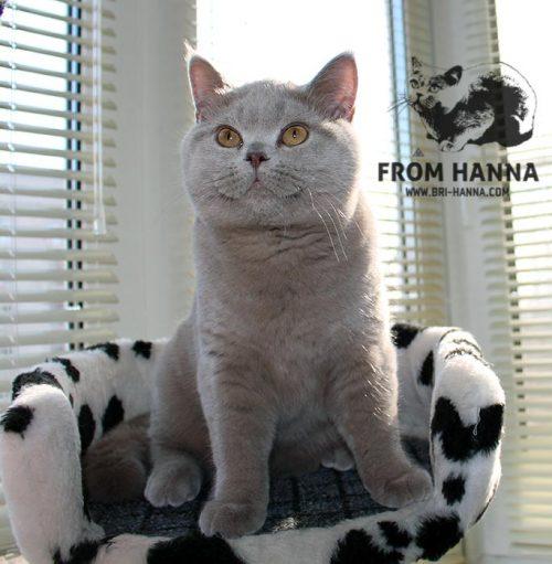 luxury_amon_of_hanna_cat