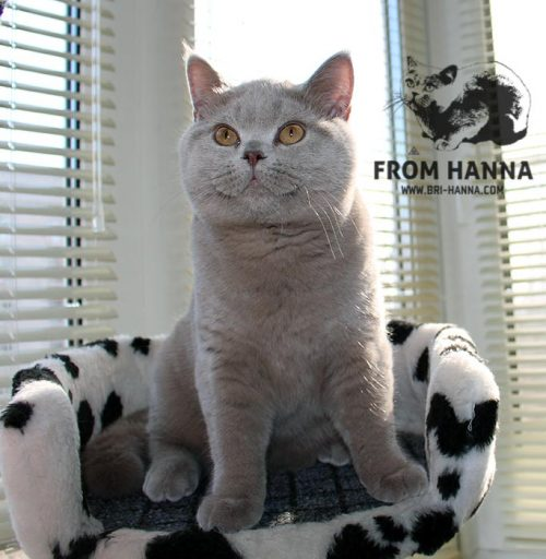 luxury_amon_of_hanna_cat