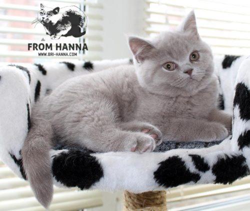 luxury_amon_of_hanna_kitten