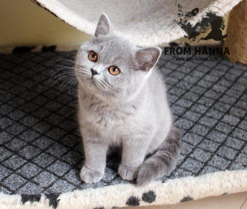 luxury_ayna_of_hanna_cat
