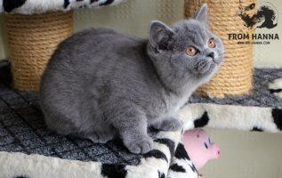 luxury_ayna_of_hanna_kitten