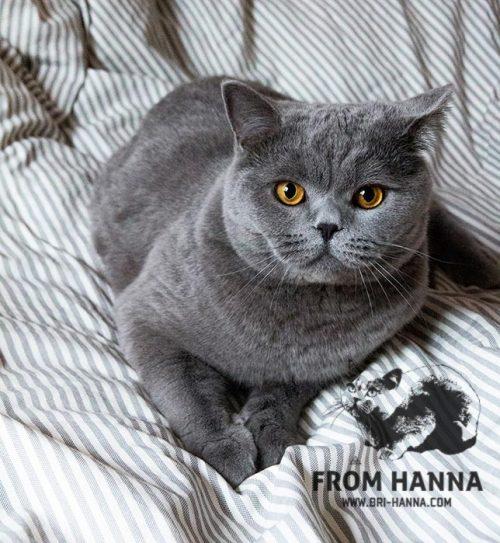 luxury_caesar_of_hanna_blue