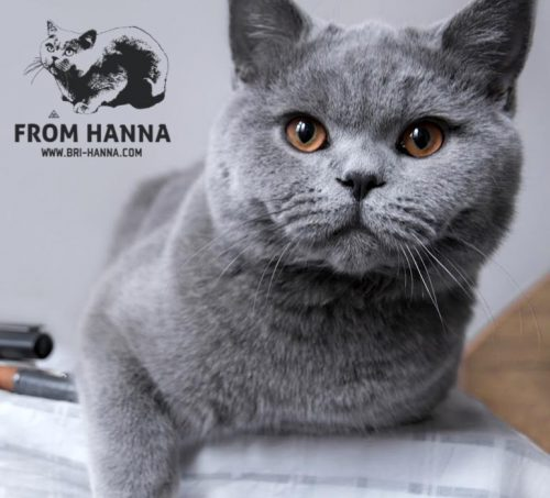 luxury_caesar_of_hanna_cat