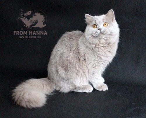 luxury_catherine_of_hanna_kitten