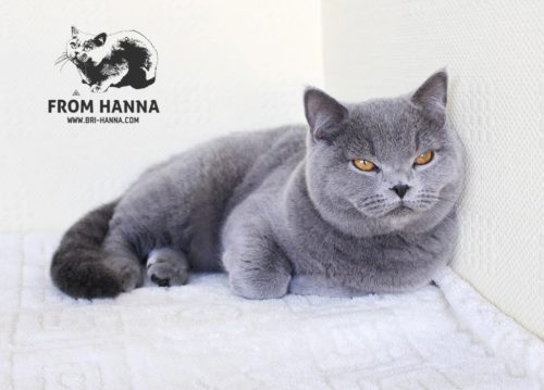luxury_charlie_of_hanna_kitten