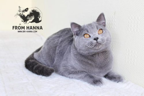 luxury_chase_of_hanna_cat