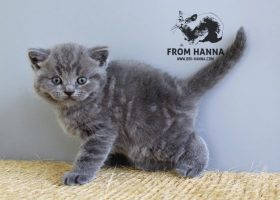 luxury_chase_of_hanna_kitten