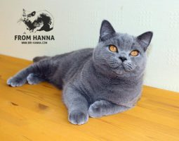 luxury_chelsea_of_hanna_cat