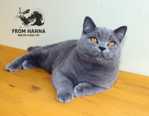 luxury_chelsea_of_hanna_cat