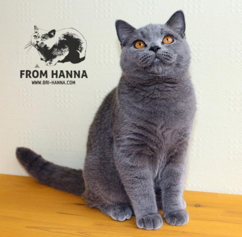 luxury_chelsea_of_hanna_kitten