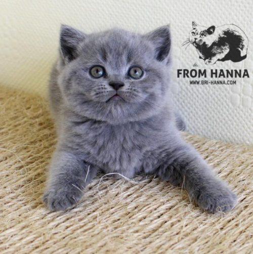 luxury_clinton_of_hanna_cat