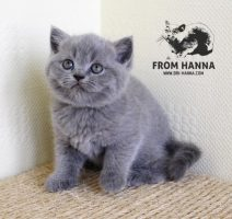 luxury_clinton_of_hanna_kitten_помет_c