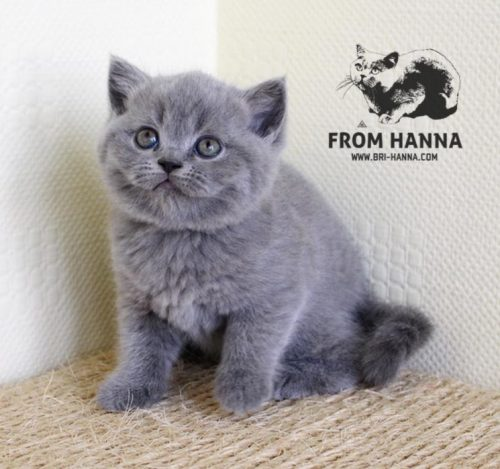 luxury_clinton_of_hanna_kitten_помет_c