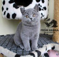 luxury_fraya_of_hanna_cat